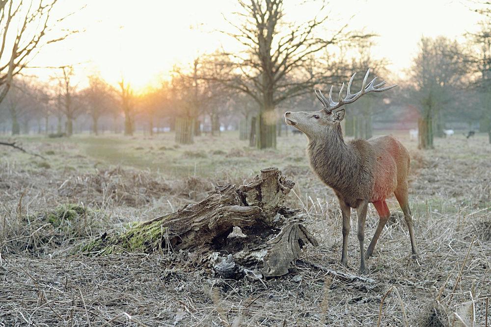 A deer sniffs the air